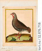 Francolinus afer, Print, The red-necked spurfowl or red-necked francolin (Pternistis afer), is a gamebird in the pheasant family Phasianidae of the order Galliformes, gallinaceous birds., 1700-1880 (2019 год). Редакционное фото, фотограф ARTOKOLORO QUINT LOX LIMITED / age Fotostock / Фотобанк Лори