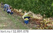 Купить «Farmers collect fallen apples for juice», видеоролик № 32891078, снято 20 февраля 2020 г. (c) Яков Филимонов / Фотобанк Лори
