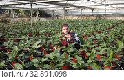 Купить «Young male farmer caring for young Spathiphyllum plants in greenhouse farm», видеоролик № 32891098, снято 29 октября 2019 г. (c) Яков Филимонов / Фотобанк Лори