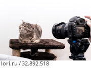 Kitty in the studio does not want to be photographed. Стоковое фото, фотограф Евгений Харитонов / Фотобанк Лори