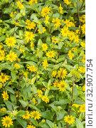 Creeping zinnia 'Aztec' / Sanvitalia procumbens 'Aztec'. Стоковое фото, фотограф Alain Kubacsi / age Fotostock / Фотобанк Лори