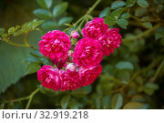 Branch of climbing red rose. Стоковое фото, фотограф Юлия Бабкина / Фотобанк Лори