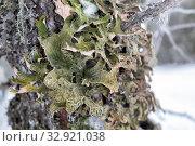 Купить «Лобария лёгочная (лат. Lobaria pulmonaria). Лишайник растет на дереве в лесу. Россия. Северная Карелия», фото № 32921038, снято 11 января 2020 г. (c) Наталья Осипова / Фотобанк Лори