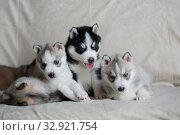 Купить «Husky puppies, two months old», фото № 32921754, снято 13 июля 2019 г. (c) Типляшина Евгения / Фотобанк Лори