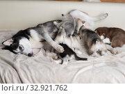 Купить «Husky puppies with mom», фото № 32921762, снято 13 июля 2019 г. (c) Типляшина Евгения / Фотобанк Лори