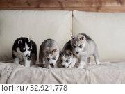 Купить «Husky puppies, two months old», фото № 32921778, снято 13 июля 2019 г. (c) Типляшина Евгения / Фотобанк Лори