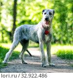 Купить «Irish Wolfhound portrait», фото № 32922486, снято 19 мая 2019 г. (c) Сергей Лаврентьев / Фотобанк Лори