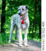 Купить «Irish Wolfhound portrait», фото № 32922490, снято 19 мая 2019 г. (c) Сергей Лаврентьев / Фотобанк Лори