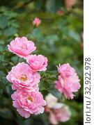 Купить «Цветы розы сорта Sommerwind», фото № 32922978, снято 12 июля 2018 г. (c) Юлия Бабкина / Фотобанк Лори