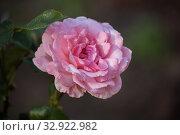 Купить «Роза сорта Карина крупным планом», фото № 32922982, снято 12 июля 2018 г. (c) Юлия Бабкина / Фотобанк Лори
