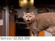 Scottish straight cat looks very surprised. Стоковое фото, фотограф Евгений Харитонов / Фотобанк Лори