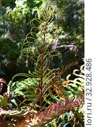 Costilla de vaca or Chilean hard fern (Blechnum chilense or Parablechnum cordatum) is a fern endemic to Chile and Argentina. Fertil frond detail. This... Стоковое фото, фотограф J M Barres / age Fotostock / Фотобанк Лори