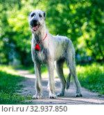 Купить «Irish Wolfhound portrait», фото № 32937850, снято 19 мая 2019 г. (c) Сергей Лаврентьев / Фотобанк Лори