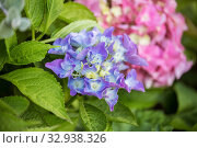Купить «Blue-white and pink hydrangea or hortensia flowers in the garden», фото № 32938326, снято 12 июля 2018 г. (c) Юлия Бабкина / Фотобанк Лори