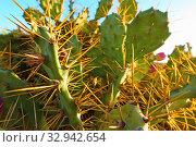 Prickly pear cactus. Стоковое фото, фотограф Роман Сигаев / Фотобанк Лори