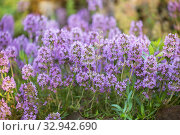 Купить «Тимьян (Thymus) или чабрец», фото № 32942690, снято 12 июля 2018 г. (c) Юлия Бабкина / Фотобанк Лори