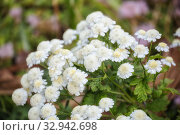 Купить «Feverfew (Pyrethrum or Tanacetum parthenium), garden variety with white flowers», фото № 32942698, снято 12 июля 2018 г. (c) Юлия Бабкина / Фотобанк Лори