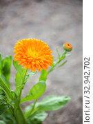 Махровый цветок календулы крупным планом. Стоковое фото, фотограф Юлия Бабкина / Фотобанк Лори