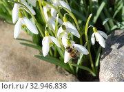 Купить «Пчела на подснежнике Воронова (лат. Galanthus woronowii) собирает нектар», фото № 32946838, снято 11 апреля 2019 г. (c) Елена Коромыслова / Фотобанк Лори