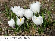 Белые крокусы (Crocus) цветут в весеннем саду. Стоковое фото, фотограф Елена Коромыслова / Фотобанк Лори