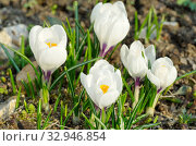 Белые крокусы (Crocus) на клумбе в саду. Стоковое фото, фотограф Елена Коромыслова / Фотобанк Лори