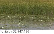 Купить «Карьерное озеро с белыми кувшинками. Quarry lake with white water lilies.», видеоролик № 32947186, снято 15 июня 2019 г. (c) Евгений Романов / Фотобанк Лори