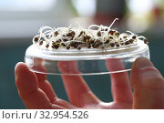 Hand of a scientist with tweezers holding a germinated hemp seed. Стоковое фото, фотограф Марина Володько / Фотобанк Лори