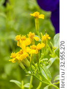 Mexican Mint Marigold / Tagetes lucida. Стоковое фото, фотограф Alain Kubacsi / age Fotostock / Фотобанк Лори