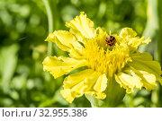 Tagetes erecta 'Sierra Yellow'. Стоковое фото, фотограф Alain Kubacsi / age Fotostock / Фотобанк Лори