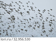 Wild ducks, mainly wigeons ( Mareca penelope ) and mallards mixed up with some Pintails, dense flock of wild ducks in fast flight, wildlife, Europe. Стоковое фото, фотограф Ralf Kistowski / age Fotostock / Фотобанк Лори