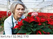 Female florist cultivating poinsettia in greenhouse. Стоковое фото, фотограф Яков Филимонов / Фотобанк Лори
