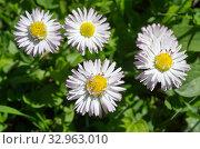 Купить «Маргаритки многолетние (лат. Bellis perennis) цветут в саду», фото № 32963010, снято 17 мая 2019 г. (c) Елена Коромыслова / Фотобанк Лори