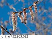 Ветка осины с серёжками на фоне голубого неба. Стоковое фото, фотограф Елена Коромыслова / Фотобанк Лори