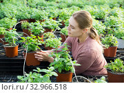 Woman examining plants of melissa. Стоковое фото, фотограф Яков Филимонов / Фотобанк Лори