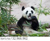 Большая панда, белая панда, Гигантская панда Giant Panda. Стоковое фото, фотограф Галина Савина / Фотобанк Лори