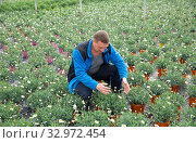 Купить «Confident farmer working with osteospermum ecklonis seedlings in greenhouse», фото № 32972454, снято 9 апреля 2019 г. (c) Яков Филимонов / Фотобанк Лори
