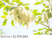 Купить «Poplar fluff on a tree branch against the blue sky.», фото № 32976862, снято 1 июня 2019 г. (c) Акиньшин Владимир / Фотобанк Лори