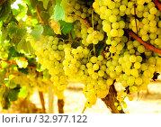 Купить «Ripe bunches of green grapes hanging», фото № 32977122, снято 29 февраля 2020 г. (c) Татьяна Яцевич / Фотобанк Лори