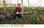 Positive male florist working with geranium plants in hothouse indoors. Стоковое видео, видеограф Яков Филимонов / Фотобанк Лори