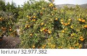 Купить «Ripe tangerines on a branch in the garden», видеоролик № 32977382, снято 10 декабря 2019 г. (c) Яков Филимонов / Фотобанк Лори