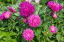Купить «Малиновые астры цветут в саду», фото № 32982182, снято 11 сентября 2019 г. (c) Елена Коромыслова / Фотобанк Лори