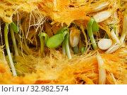 Купить «Проросшие семечки внутри тыквы», эксклюзивное фото № 32982574, снято 3 ноября 2019 г. (c) Dmitry29 / Фотобанк Лори