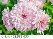 Купить «Розовые хризантемы крупным планом», фото № 32982630, снято 11 сентября 2019 г. (c) Елена Коромыслова / Фотобанк Лори