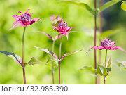 Купить «Monarda didyma (crimson beebalm, scarlet monarda, Oswego tea or bergamot) on green. Summer garden», фото № 32985390, снято 19 июля 2018 г. (c) Papoyan Irina / Фотобанк Лори