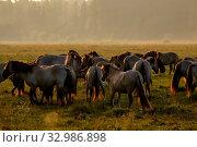 Купить «Herd of horses grazing in a meadow in the mist. Horses in a foggy meadow in autumn. Horses and foggy morning in Kemeri National Park, Latvia. Wild horses grazing in the meadow on misty summer morning.», фото № 32986898, снято 7 июня 2020 г. (c) easy Fotostock / Фотобанк Лори