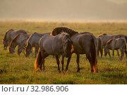 Купить «Herd of horses grazing in a meadow in the mist. Horses in a foggy meadow in autumn. Horses and foggy morning in Kemeri National Park, Latvia. Wild horses grazing in the meadow on misty summer morning.», фото № 32986906, снято 7 июня 2020 г. (c) easy Fotostock / Фотобанк Лори