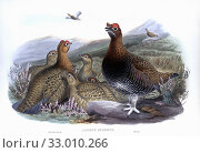 Купить «Red Grouse. Lagopus lagopus scotica. After a work by English ornitholgist and bird artist John Gould, 1804 - 1881. From his book The Birds of Great Britain, published 1873.», фото № 33010266, снято 13 июня 2005 г. (c) age Fotostock / Фотобанк Лори