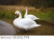 Купить «Two wild white swans close-up on a gloomy October day. Pskov region, Russia», фото № 33012774, снято 19 октября 2014 г. (c) Виктор Карасев / Фотобанк Лори