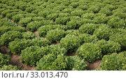 Купить «Young endive plants growing in the vegetable garden», видеоролик № 33013470, снято 18 января 2020 г. (c) Яков Филимонов / Фотобанк Лори