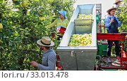 Купить «Team of workers harvest apples from trees in a sorting platform», видеоролик № 33013478, снято 4 апреля 2020 г. (c) Яков Филимонов / Фотобанк Лори